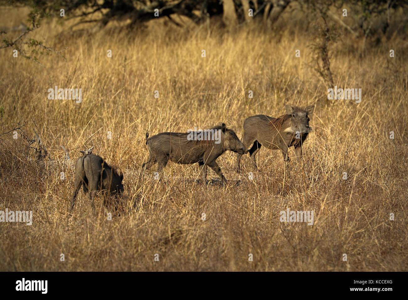Warthogs, wild member of the pig family, in the Kruger National Park, South Africa - Stock Image
