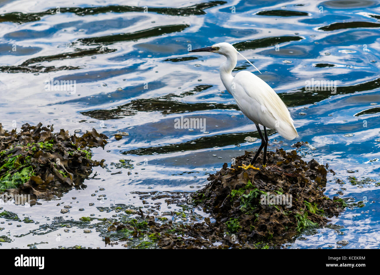 Heron stood by the river at Audierne, Brittany, France - Stock Image