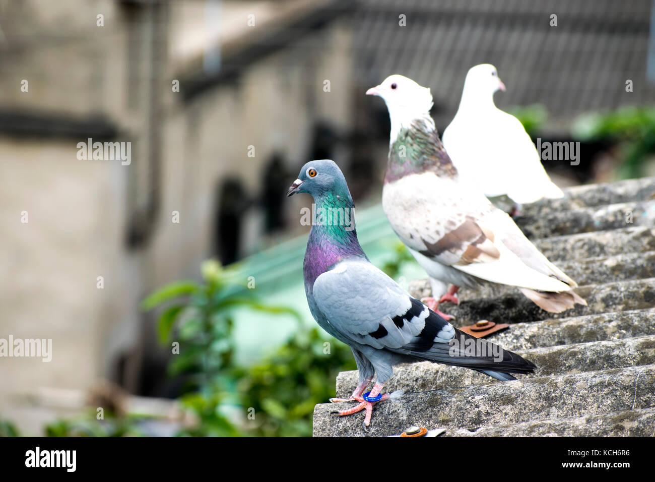 Mumtaztic Pigeon Loft  Pigeon Genetics  Pigeon Colors