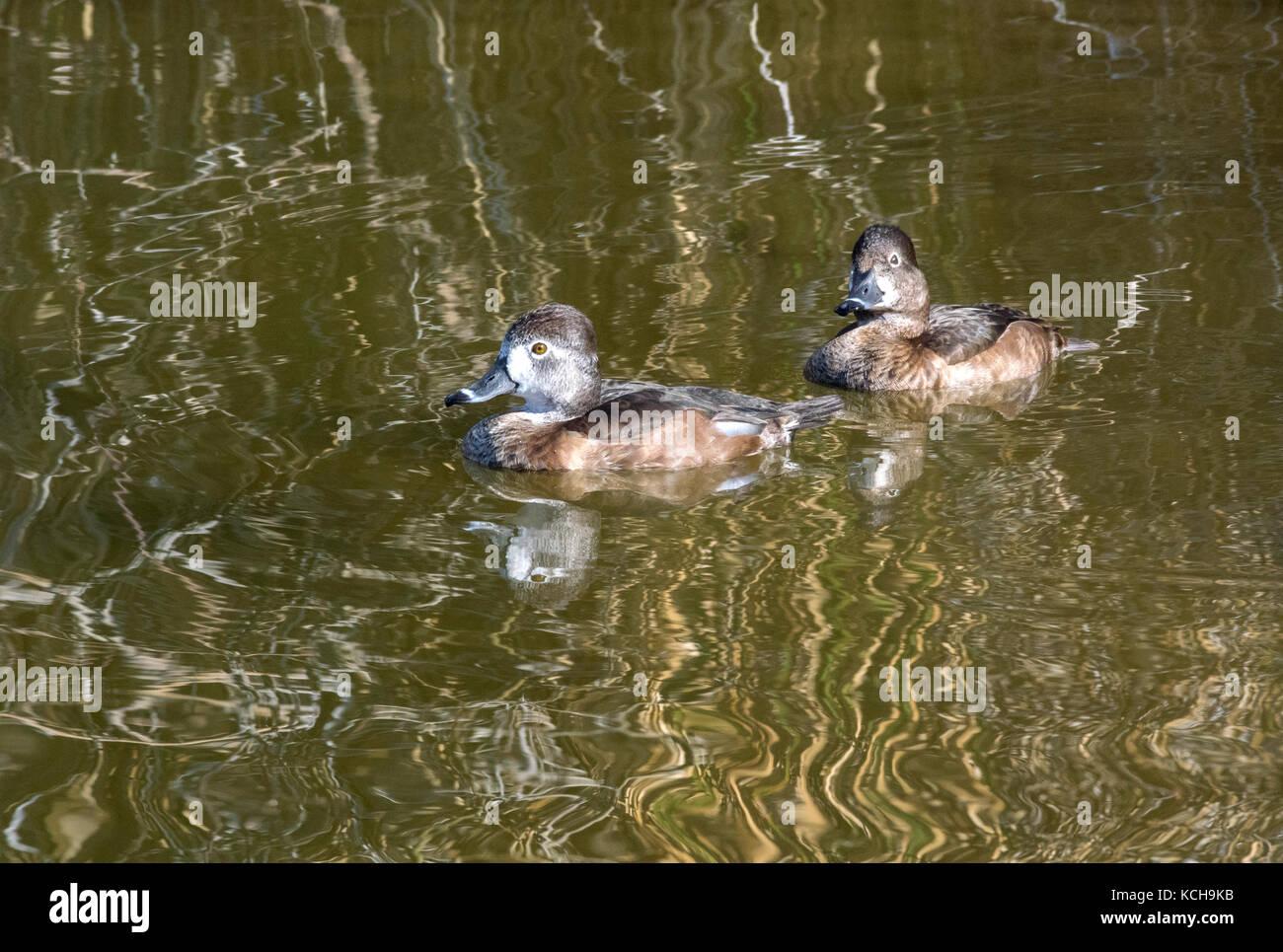 Ring-necked Ducks (Aythya collaris), Females, Gilbert Water Ranch, Gilbert, AZ - Stock Image