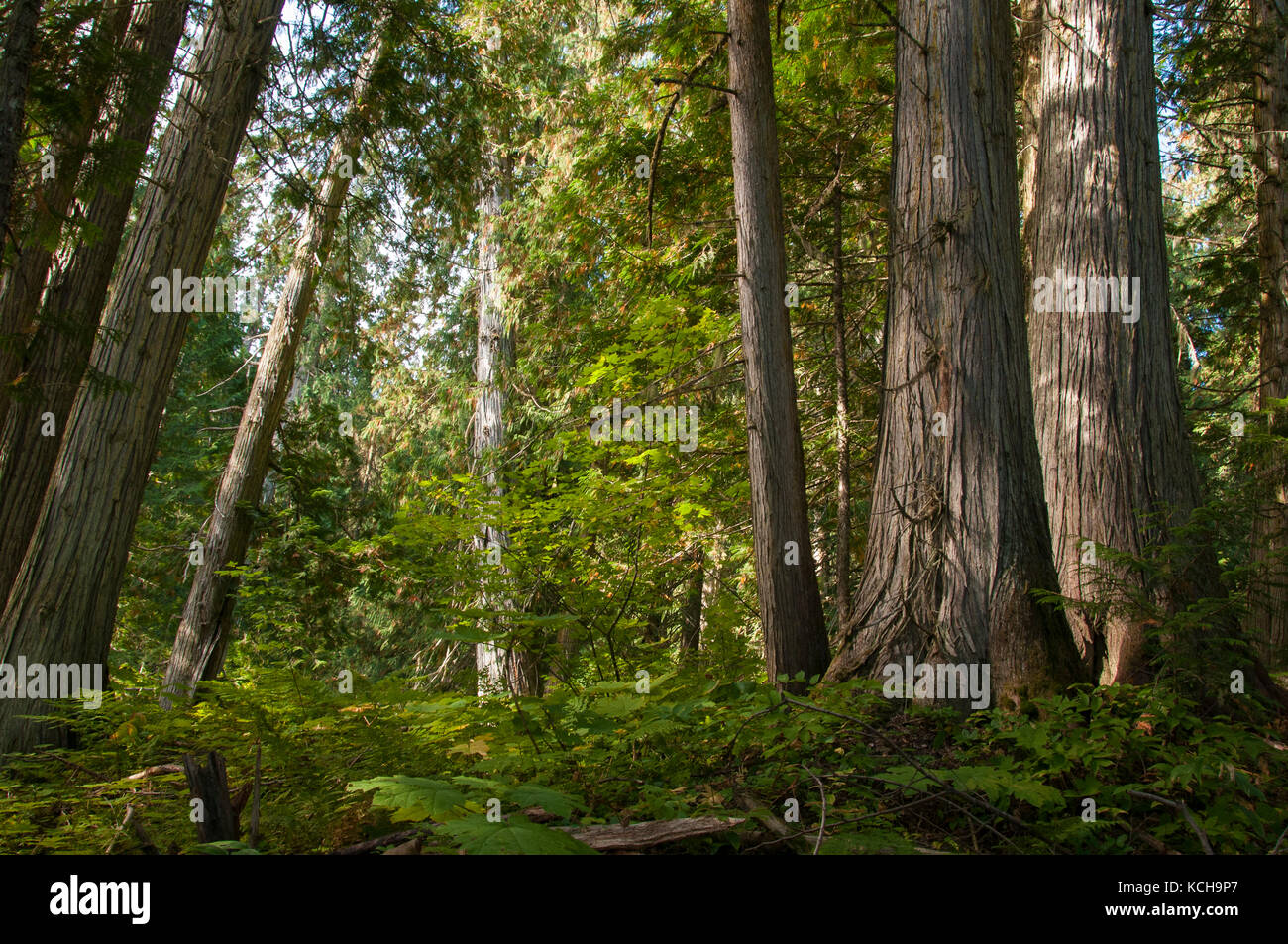 Red Cedar Forest ~ Thuja plicata western red cedar stock photos