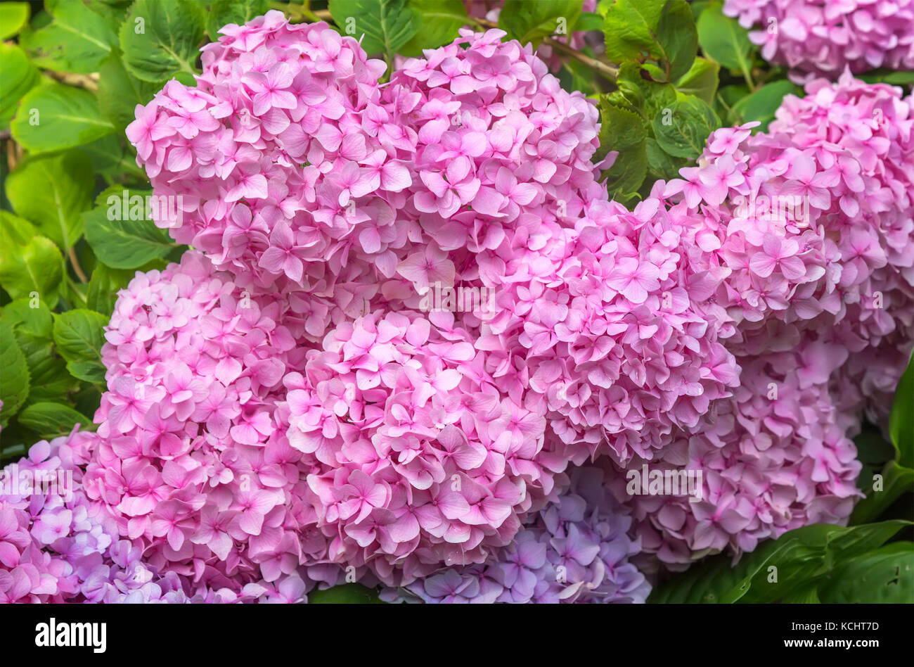 hortensia hydrangea purple blooming flower stock photos. Black Bedroom Furniture Sets. Home Design Ideas