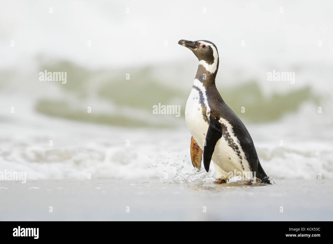 Magellanic Penguin (Spheniscus magellanicus) on a beach in the Falkland Islands. - Stock Image