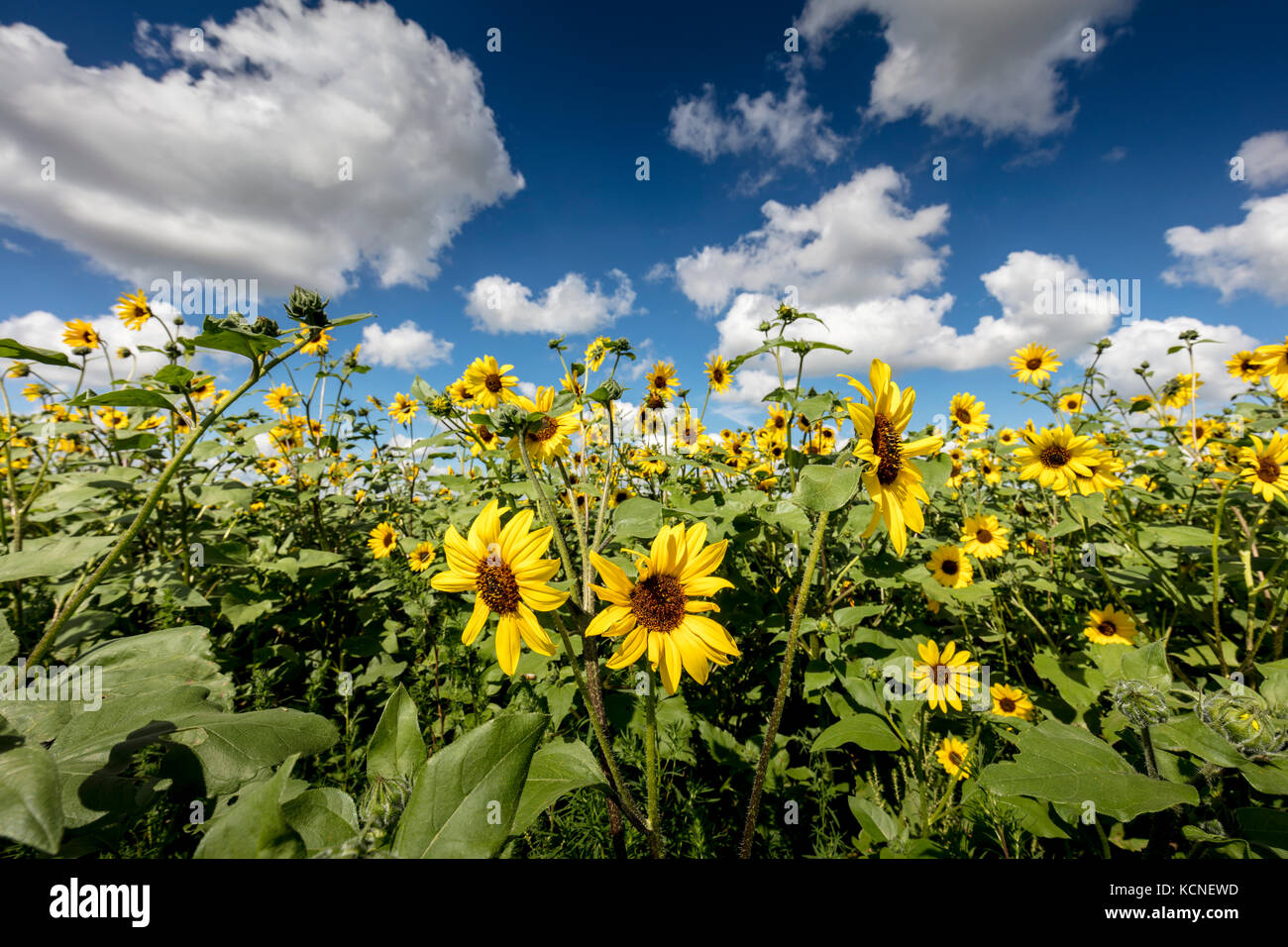 White Facing Weed Annual Crops Stock Photos Amp Annual Crops Stock Images Alamy