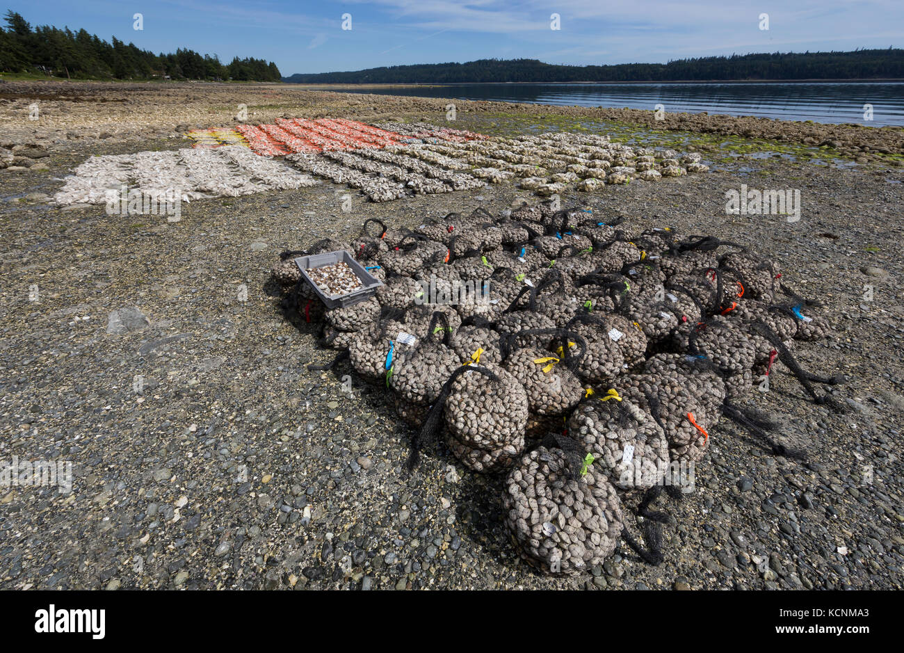 Oysters and Clams harvested on foreshore leases line the shores of Fanny Bay near the Comox Valley.  Vancouver Island. - Stock Image