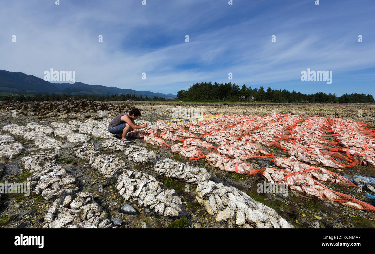 Oysters harvested on foreshore leases line the shores of Fanny Bay near the Comox Valley.  Vancouver Island. - Stock Image