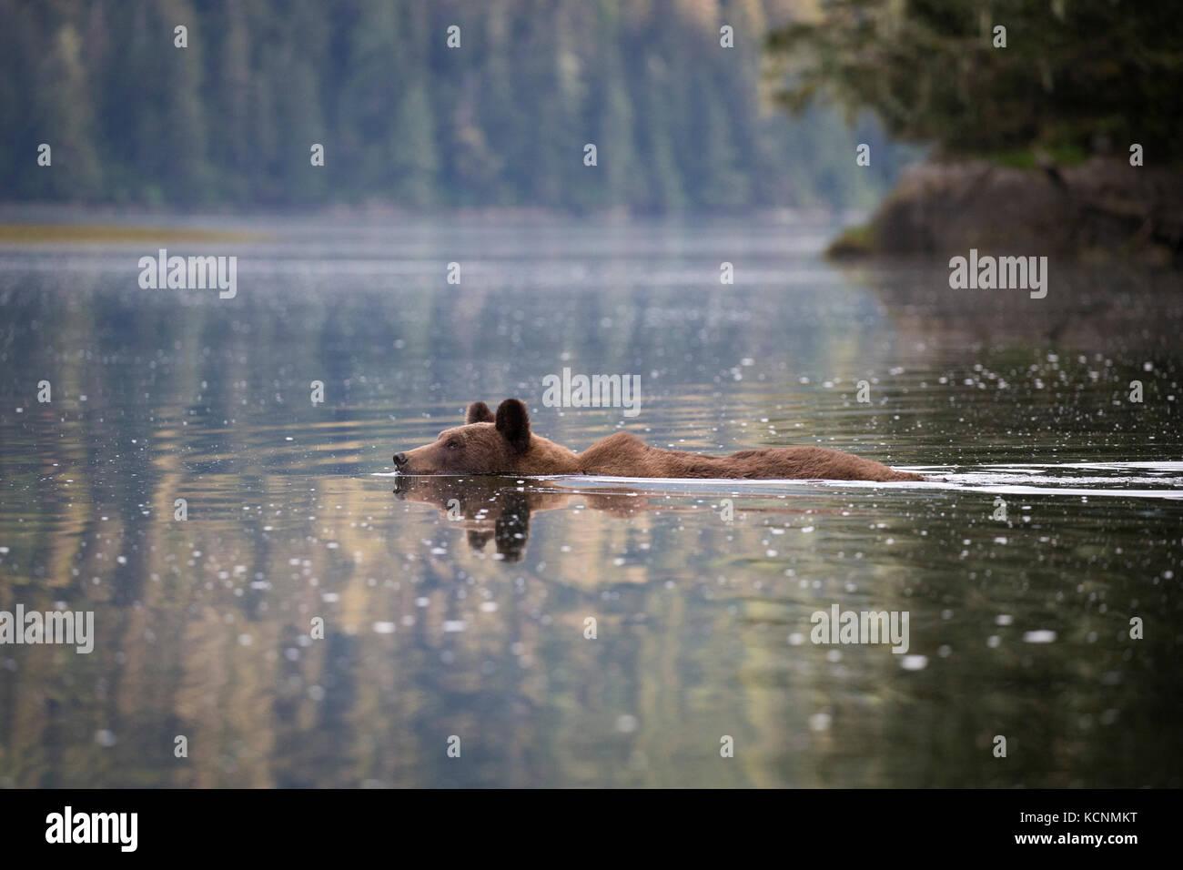 Grizzly bear (Ursus arctos horriblis), female swimming, Khutzeymateen Grizzly Bear Sanctuary, British Columbia, - Stock Image