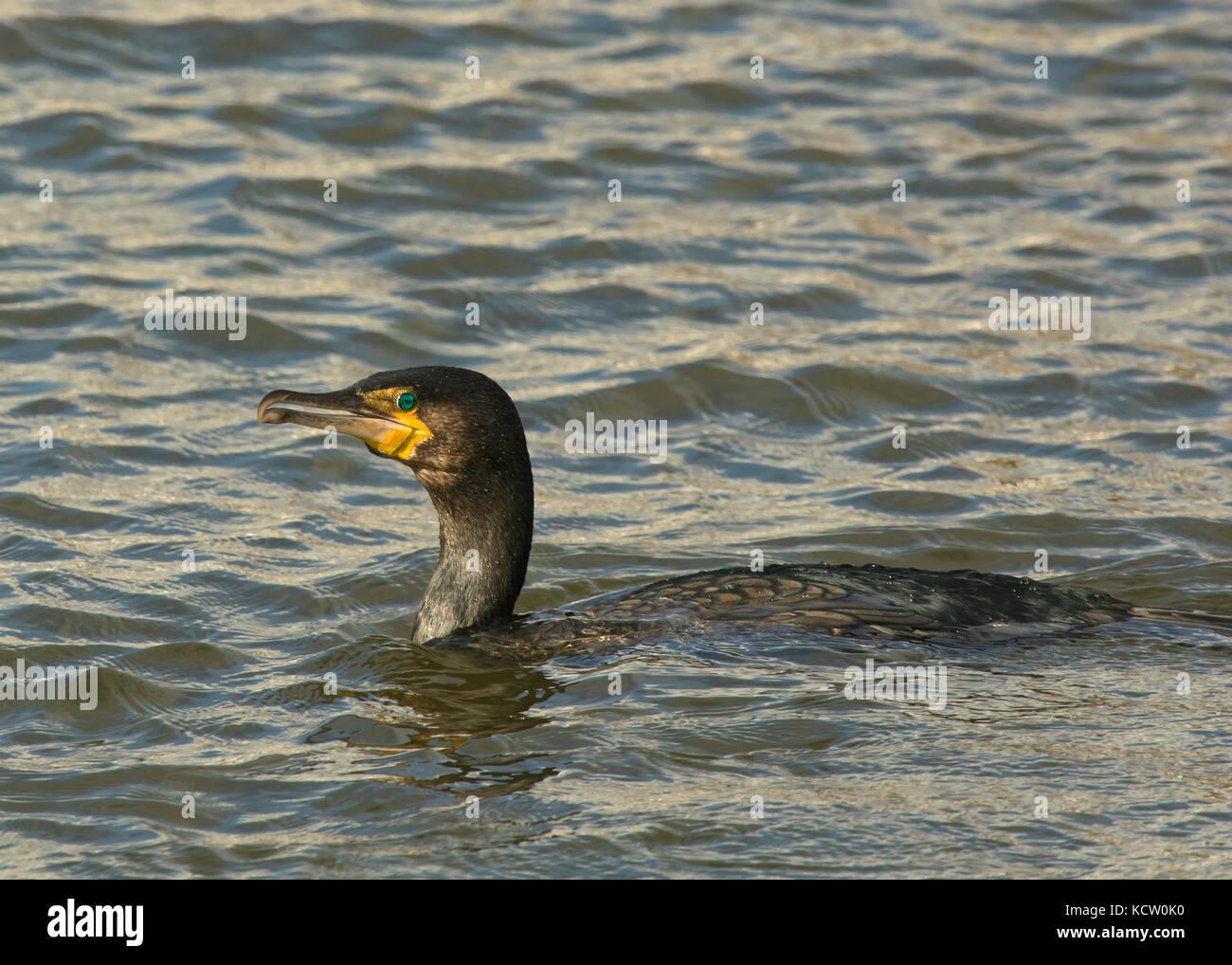 Cormorant bird swimming