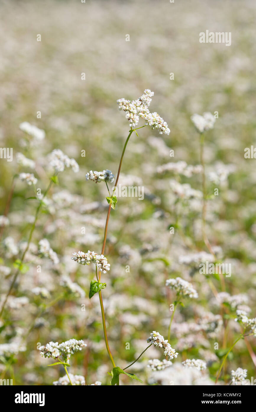 Flowering Buckwheat (Fagopyrum esculentum) - a natural fertilizer and cover crop - in front of a blurry field of - Stock Image