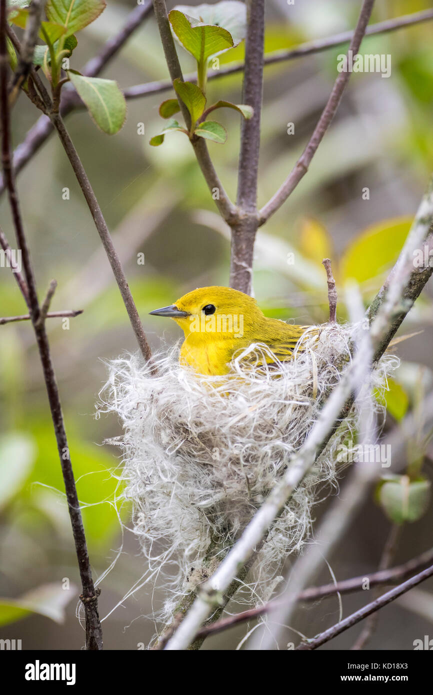 Female Yellow Warbler (Setophaga petechia) building a nest of fluffy plant fibres and spider webs, Prince Edward - Stock Image