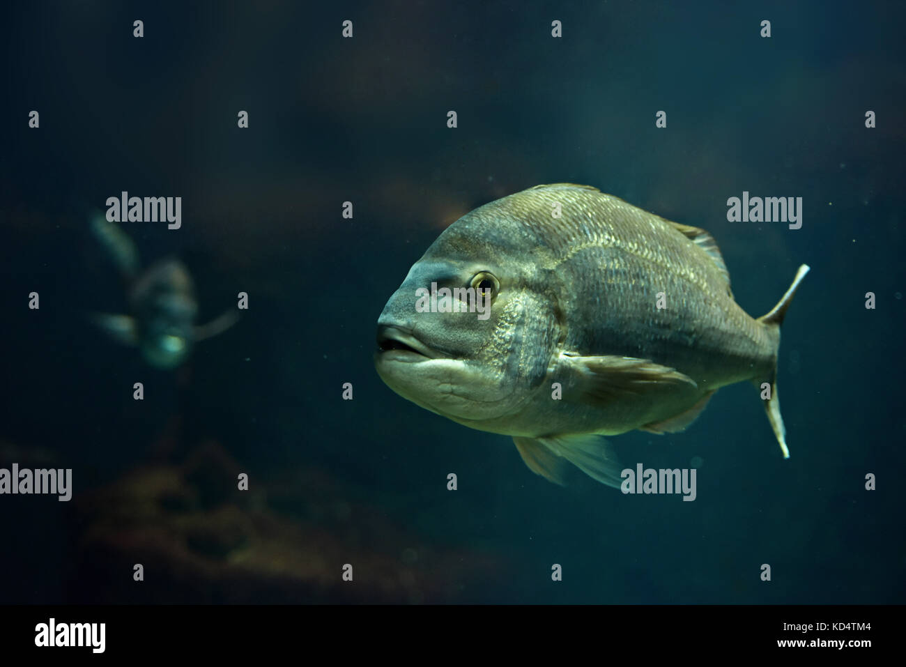 Shark tank diver stock photos shark tank diver stock for Lot of fish