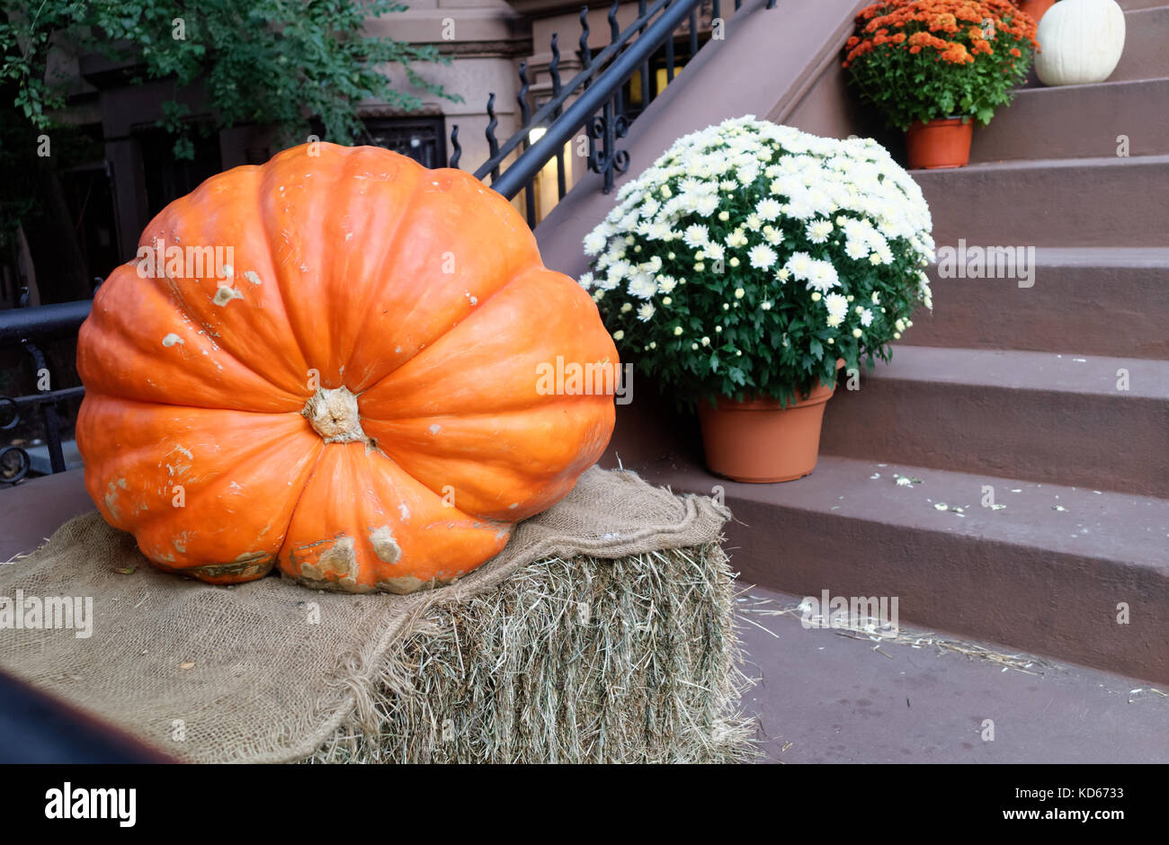 Large squashy pumpkin on a bale of hay with potted chrysanthemums on a Brooklyn brownstone stoop. - Stock Image