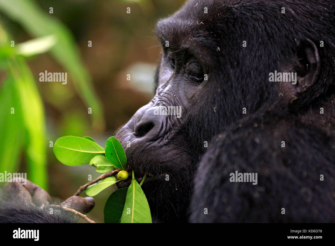 Close-up of a Mountain Gorilla (Gorilla beringei beringei) Feeding. Bwindi Impenetrable National Park, Uganda - Stock Image