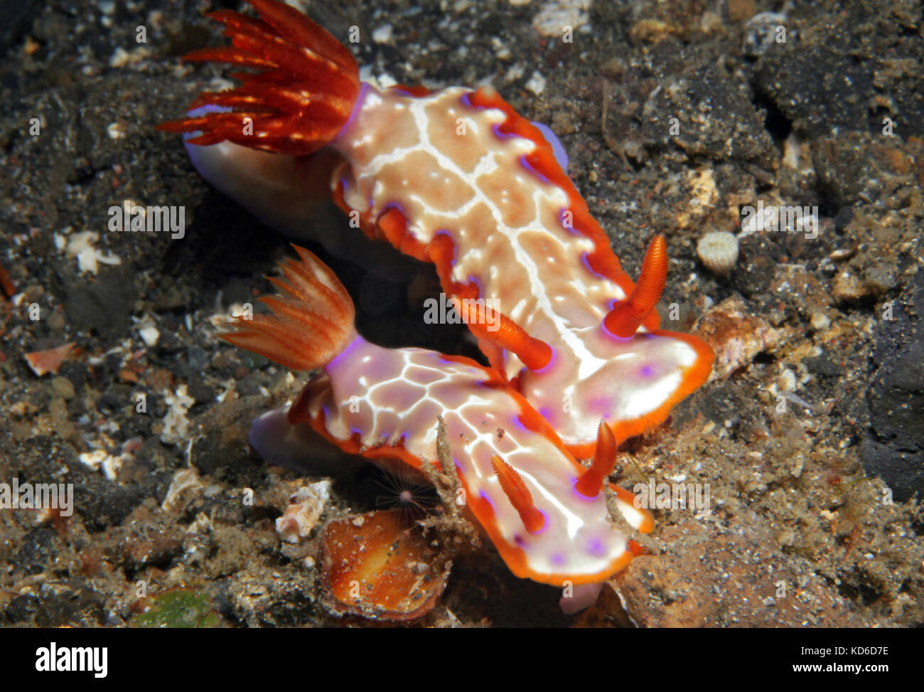 Hypselodoris Iacula Couple. Lembeh Strait, Indonesia - Stock Image