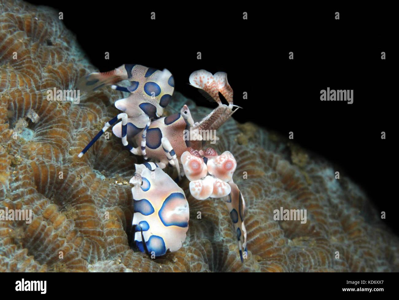 Harlequin Shrimp (Hymenocera Elegans), Lembeh Strait, Indonesia - Stock Image