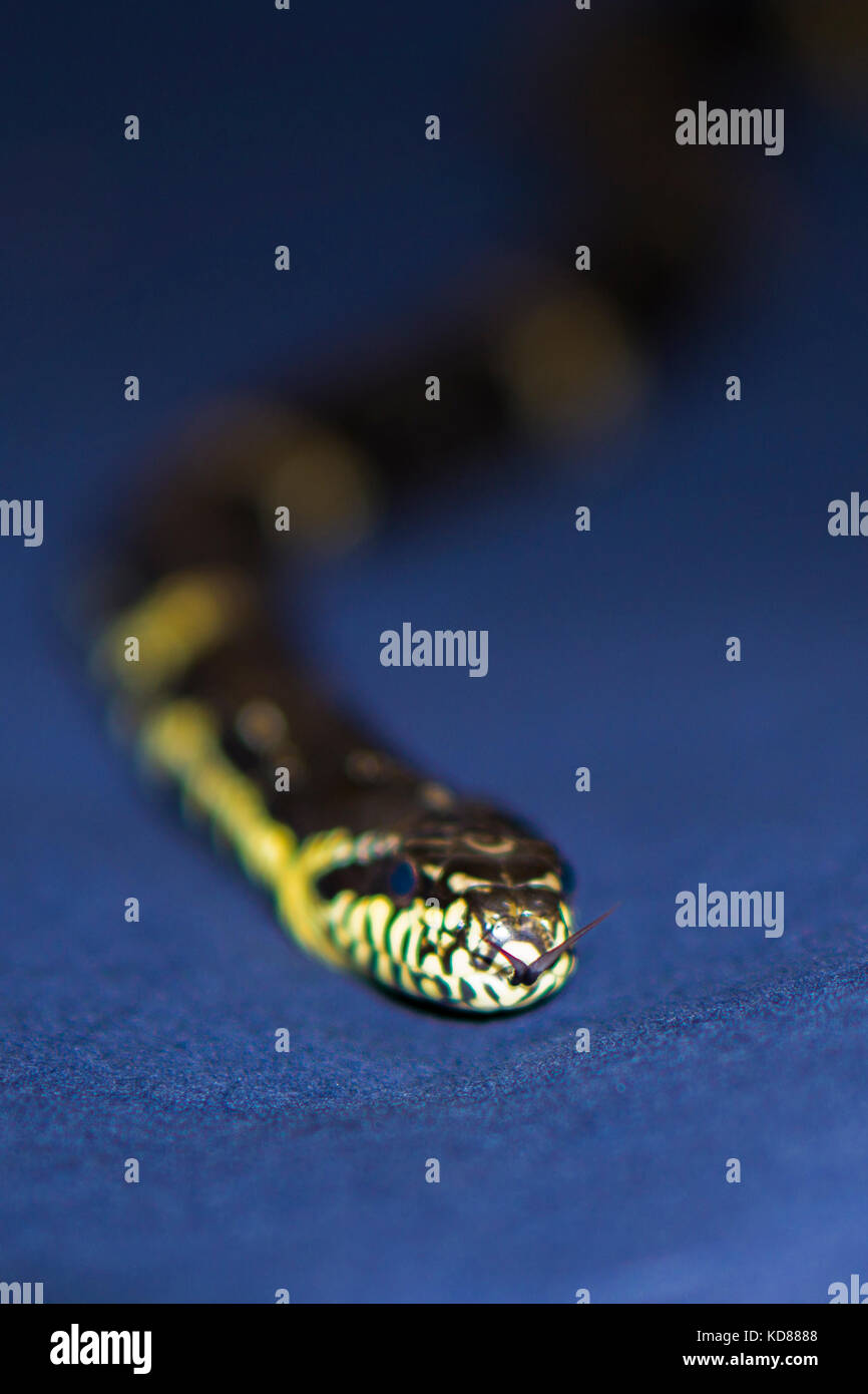 Black and Yellow striped snake on dark-blue background - Stock Image