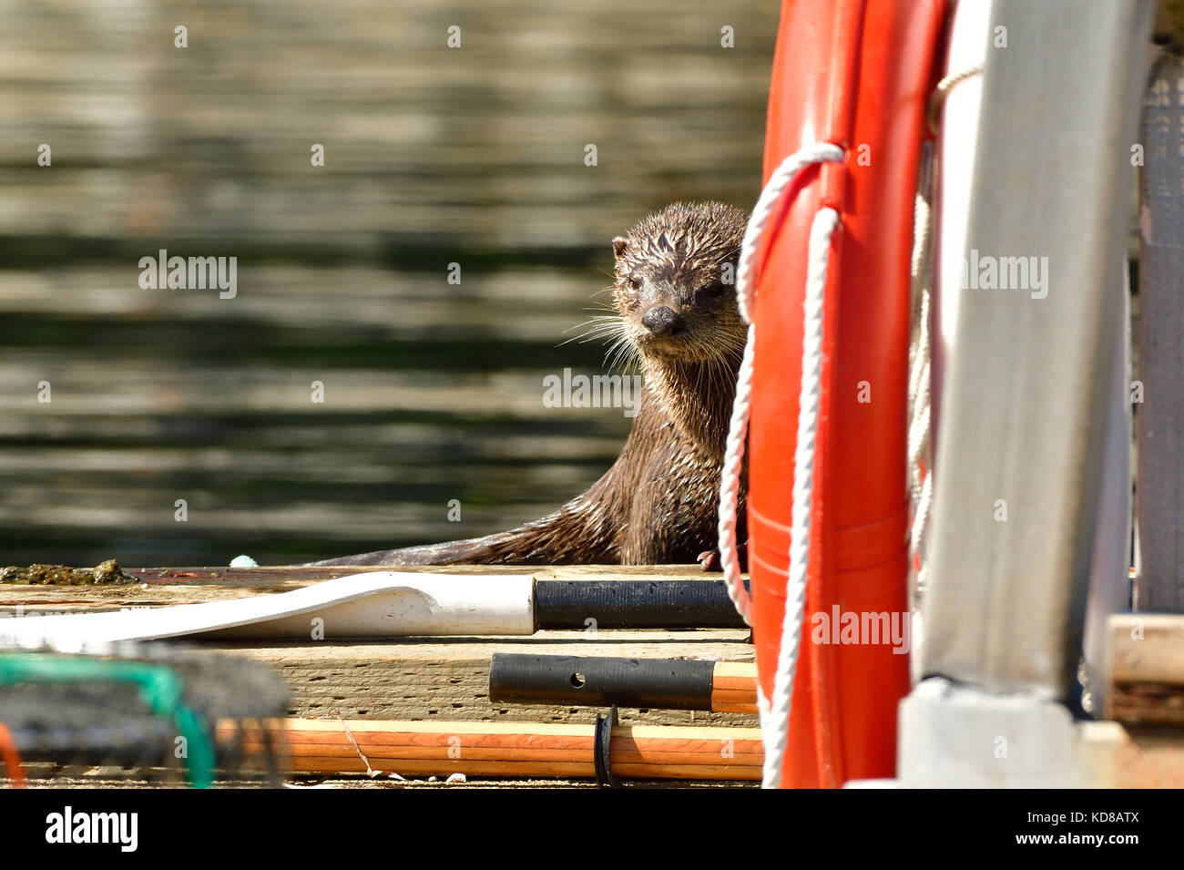 A shy  river otter (Lutra canadensis);  hiding behind some equipment on nthe dock at Yellow Point Lodge near Nanaimo - Stock Image