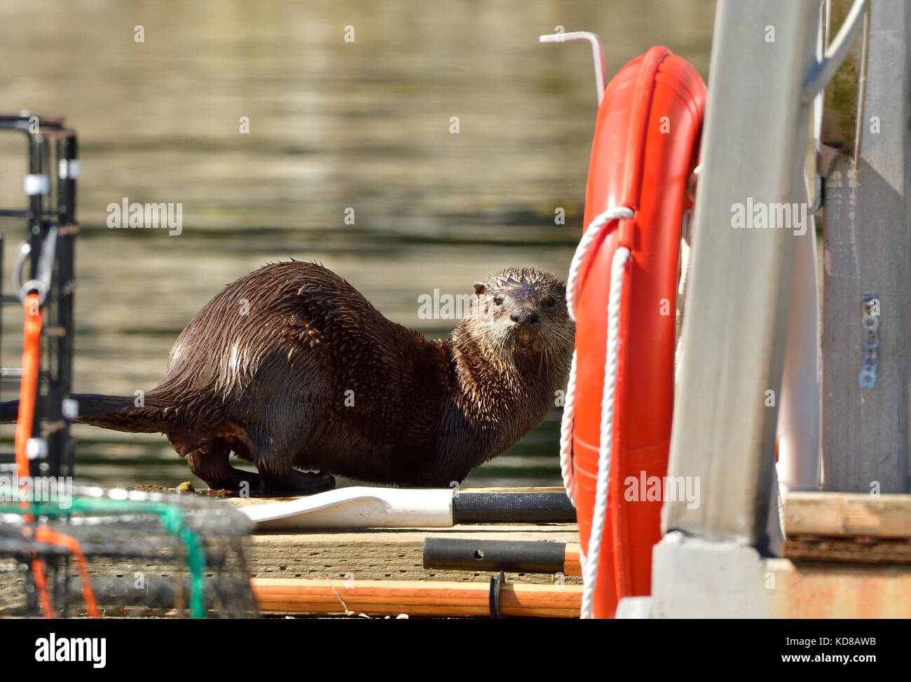A wild river otter  (Lutra canadensis); on the boat dock at Yellow Point Lodge near Nanaimo on Vancouver Island - Stock Image