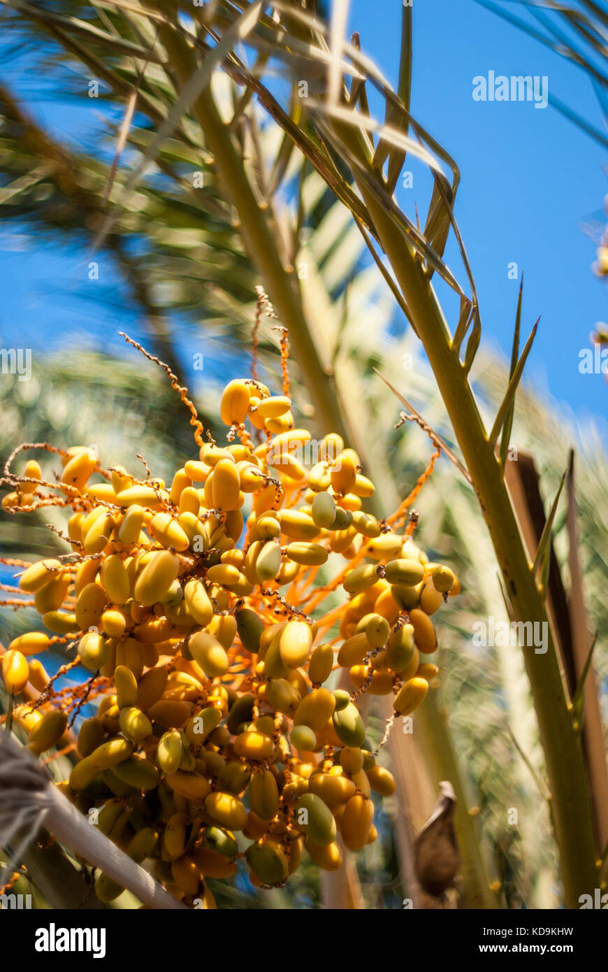 What are dates fruit in Brisbane