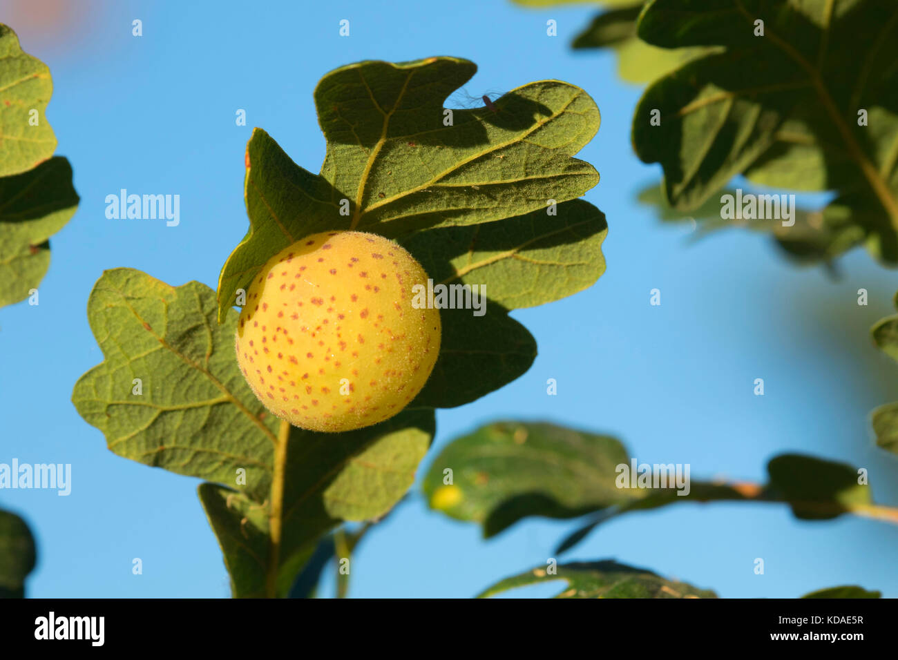 Oak Gall Stock Photos Oak Gall Stock Images Alamy