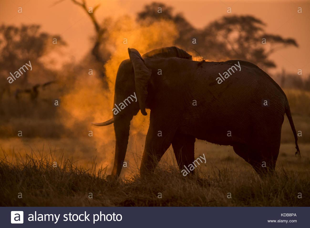 An Elephant, Loxodonta africana, dusting as the sun sets. - Stock Image