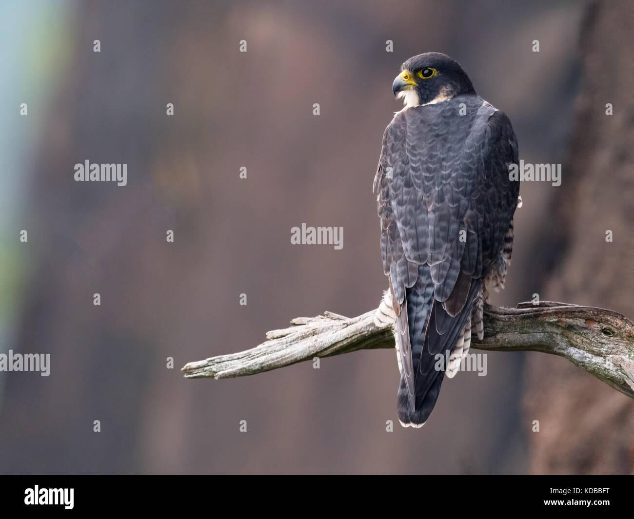 Peregrin Falcon - Stock Image