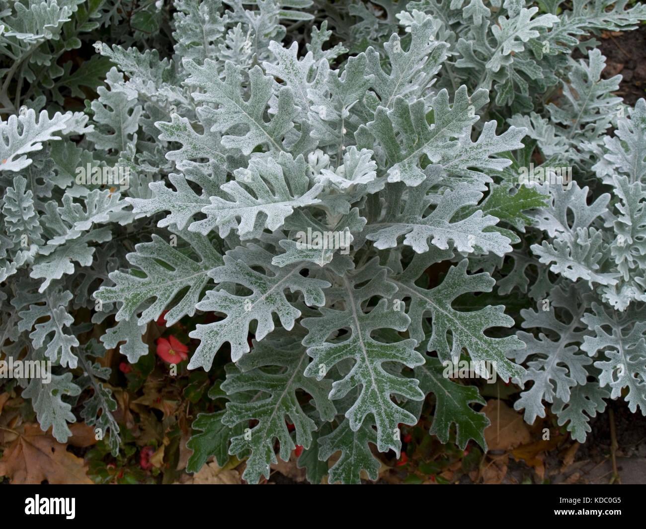 Цинерария приморская сильвердаст выращивание 91