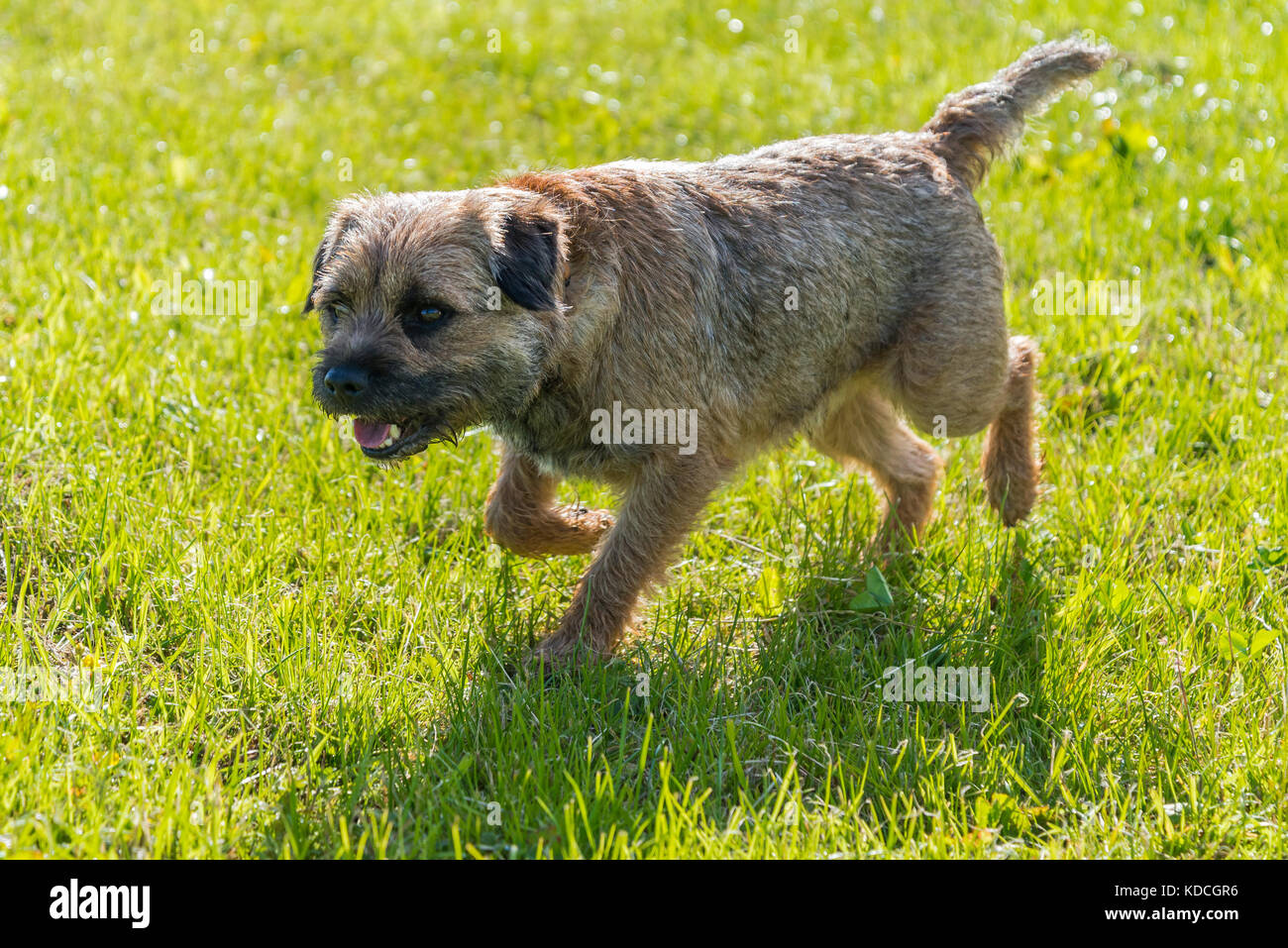 Male Border terrier running in a field - Stock Image