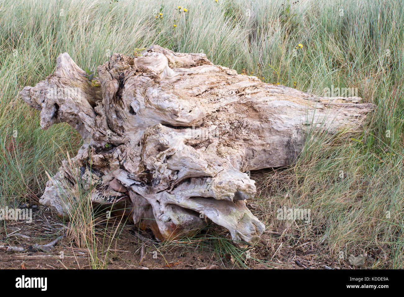 a-sun-bleached-tree-trunk-driftwood-on-t