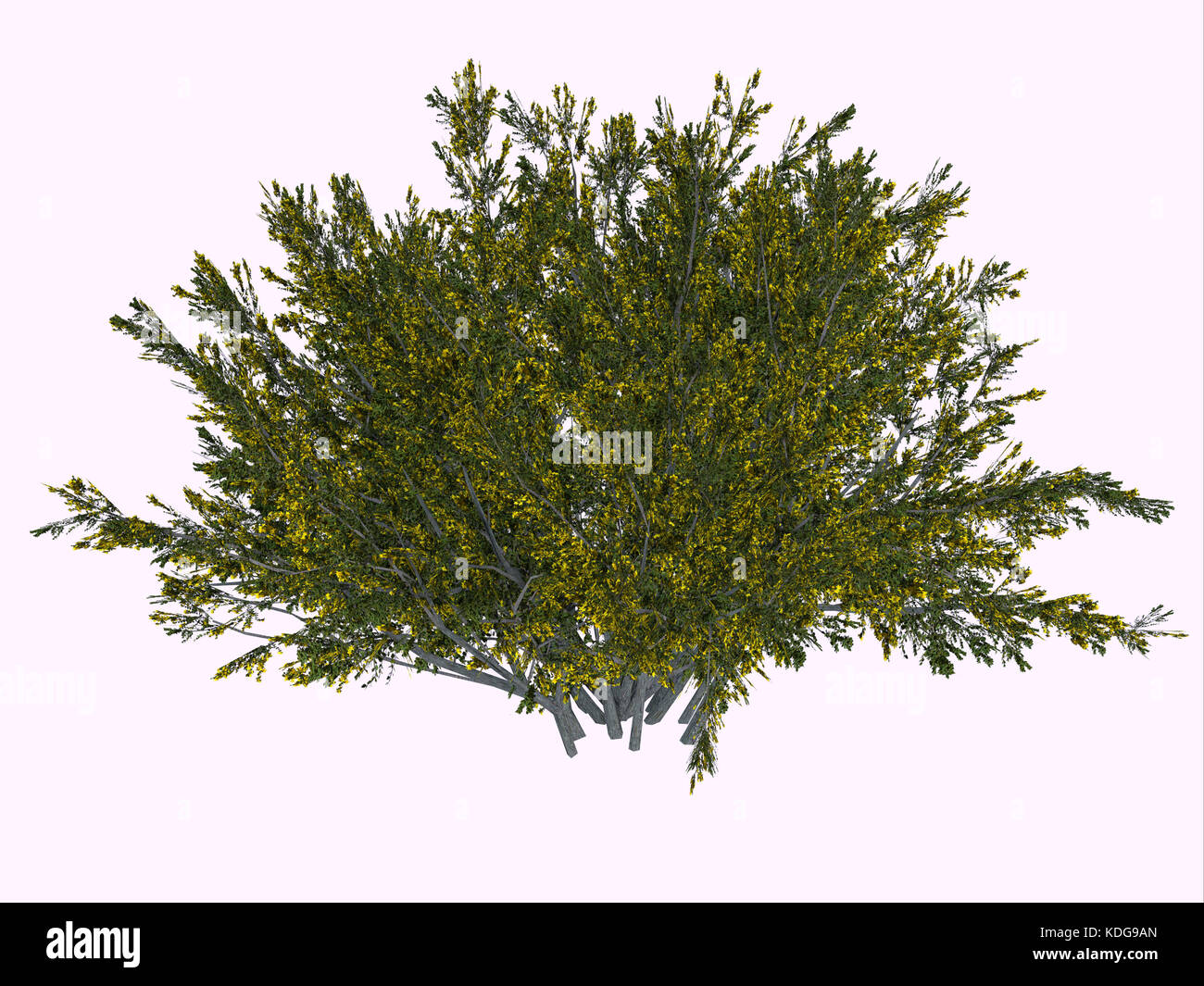 The creosote bush is a desert plant and survives the harsh climate with its ability to secure more water by inhibiting - Stock Image