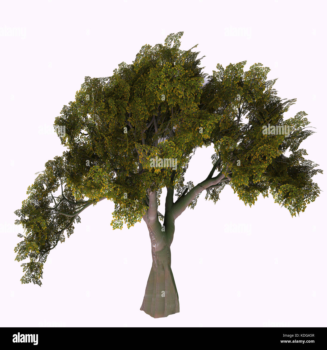English Oak Tree - The Oak tree comes in 600 different species as a deciduous or evergreen variety and develops - Stock Image