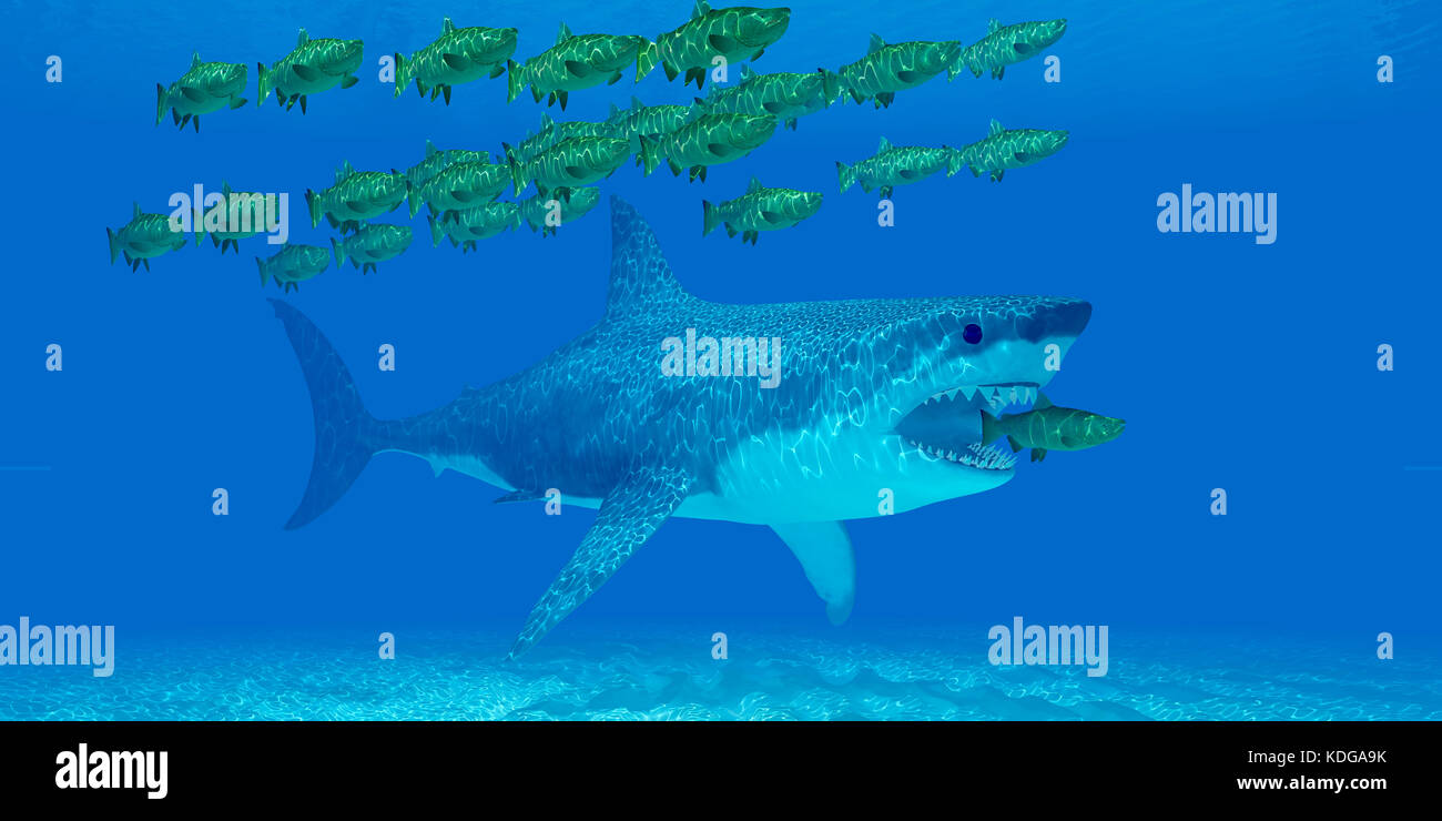 A huge Megalodon shark sneaks up behind a Chinook salmon as it strays from a school of salmon in open sea. - Stock Image