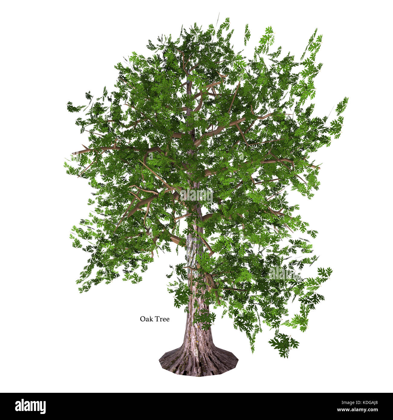 The Oak tree comes in 600 different species as a deciduous or evergreen variety and develops an acorn fruit nut. - Stock Image