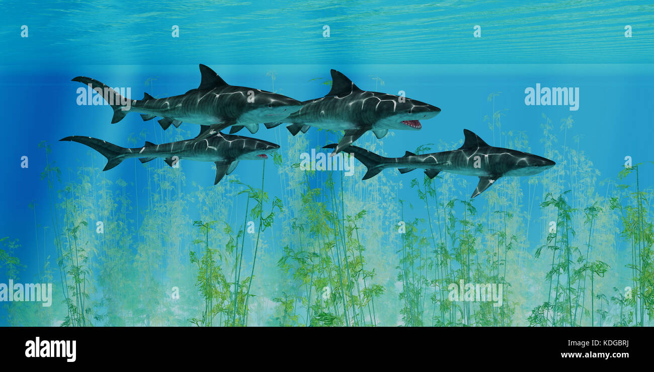 Several Tiger sharks swim together over an ocean kelp forest searching for their next prey. - Stock Image