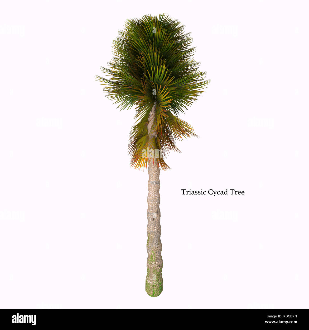 Triassic Cycad Tree with Font - Cycad are seed plants with a long fossil history that were more abundant and more - Stock Image