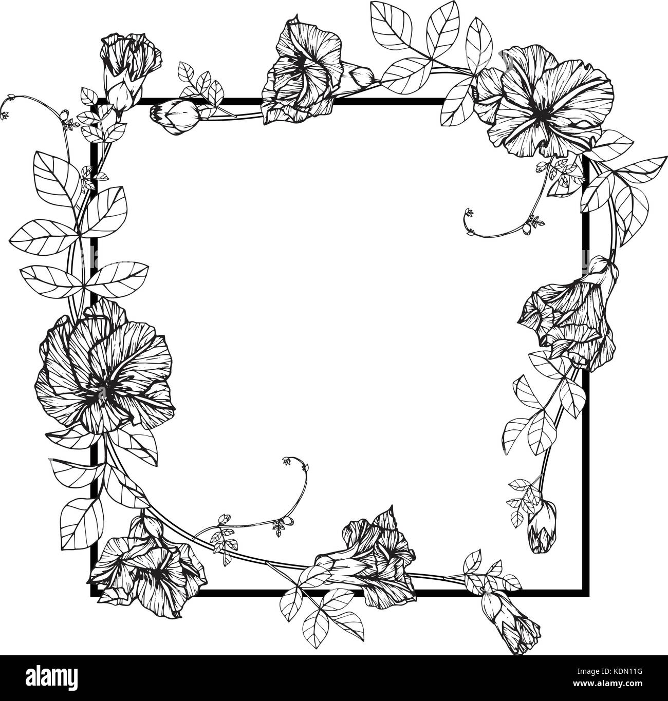 Flower Frame Line Drawing : Butterfly pea flowers stock photos