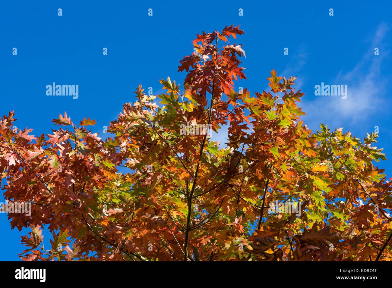 scarlet-oak-in-autumn-KDRC4T.jpg