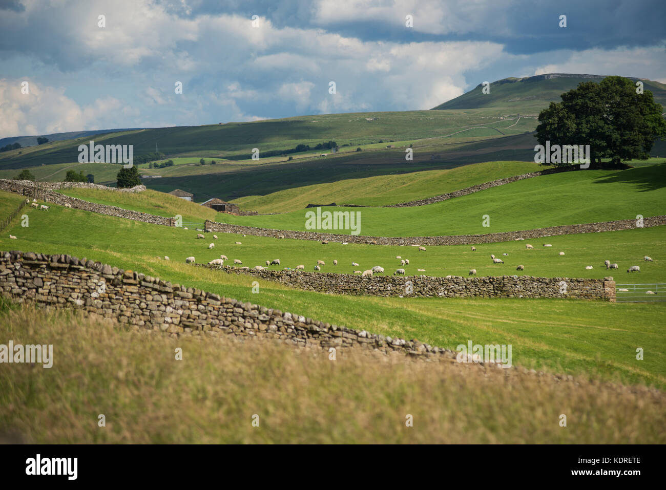 Green fields in Wensleydale in the Yorkshire Dales, England - Stock Image