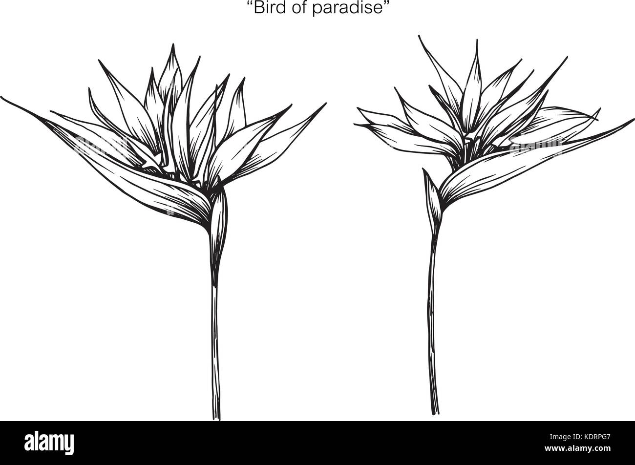 Bird of Paradise Plant coloring page  Free Printable