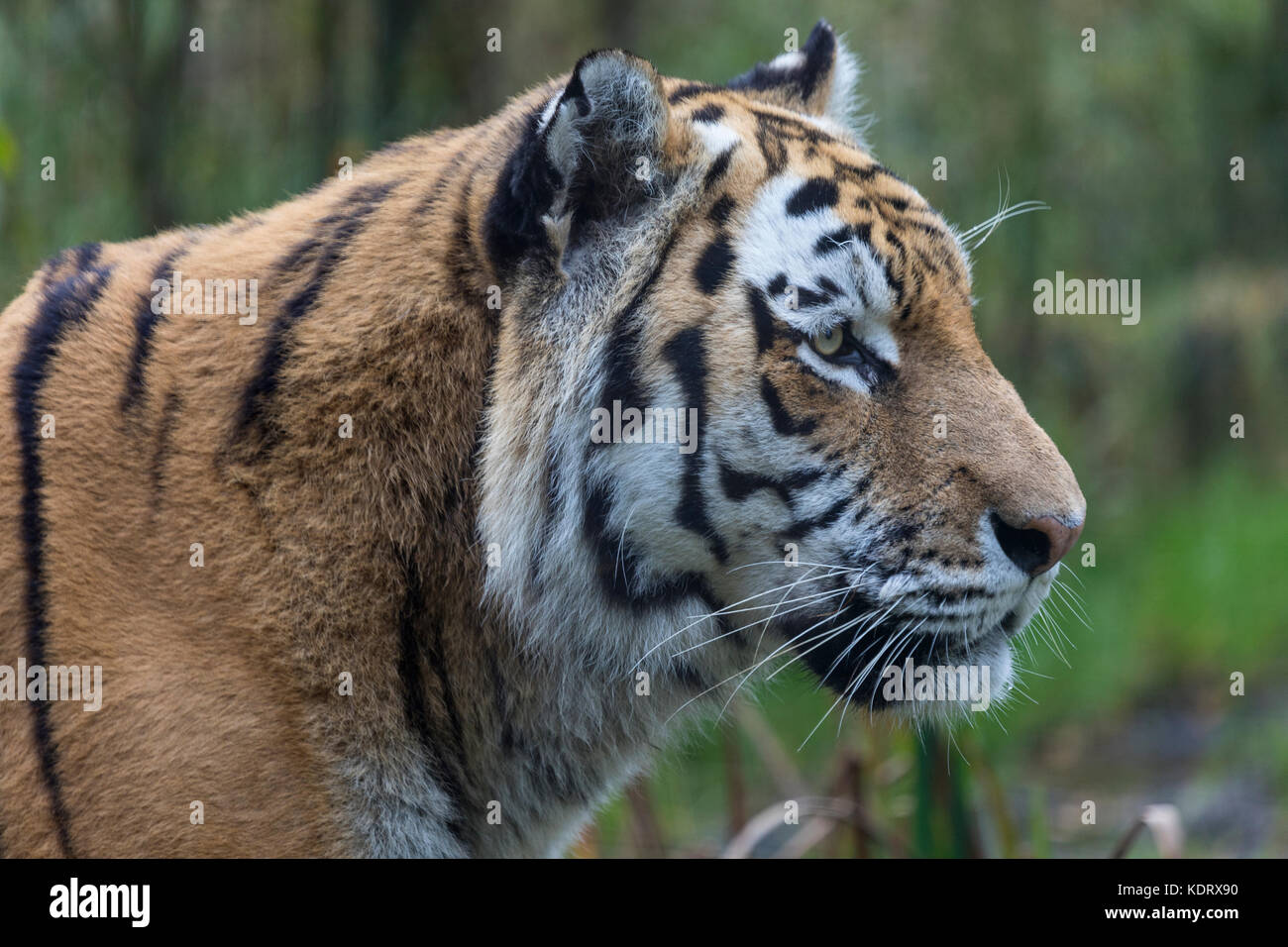 An Amur Tiger or Siberian Tiger - Northeast China and eastern Siberia in Russia. Panthera tigris. - Stock Image