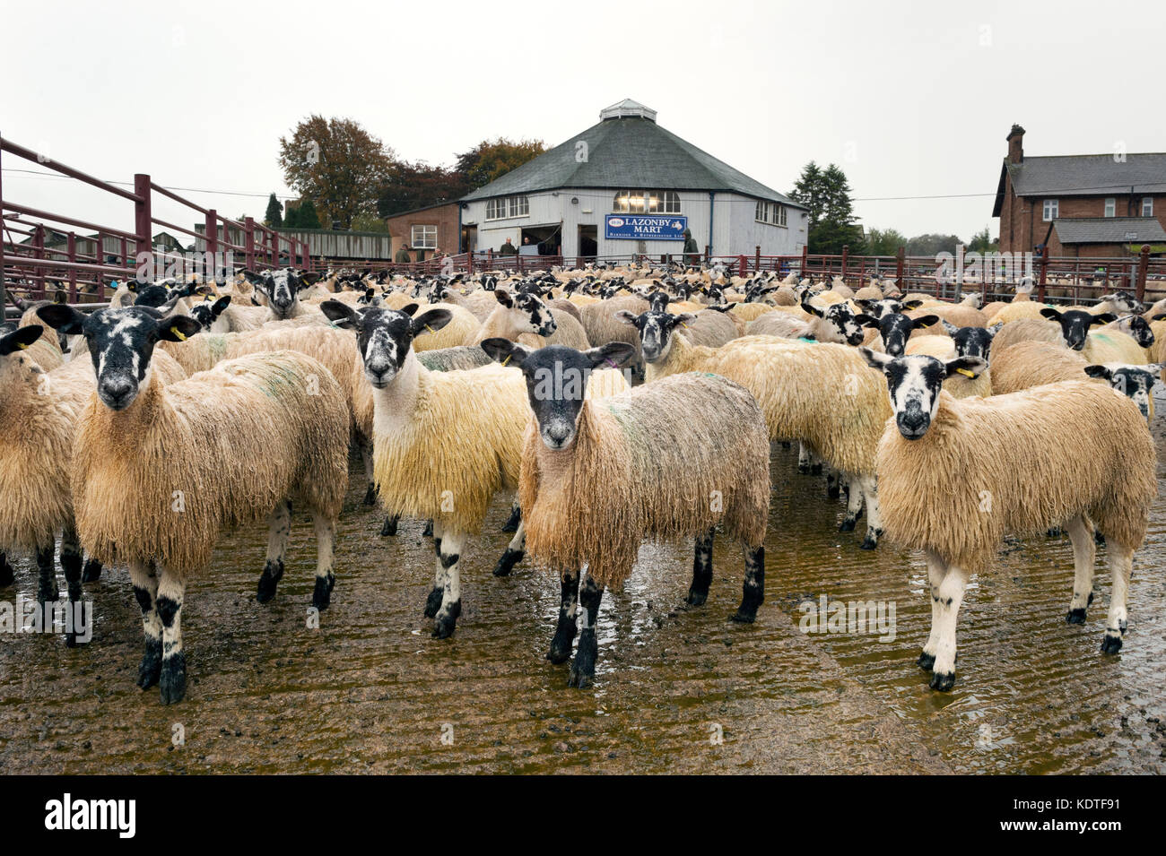 Lazonby Auction Mart, Cumbria, UK. Autumn sale of mule gimmer lambs. - Stock Image