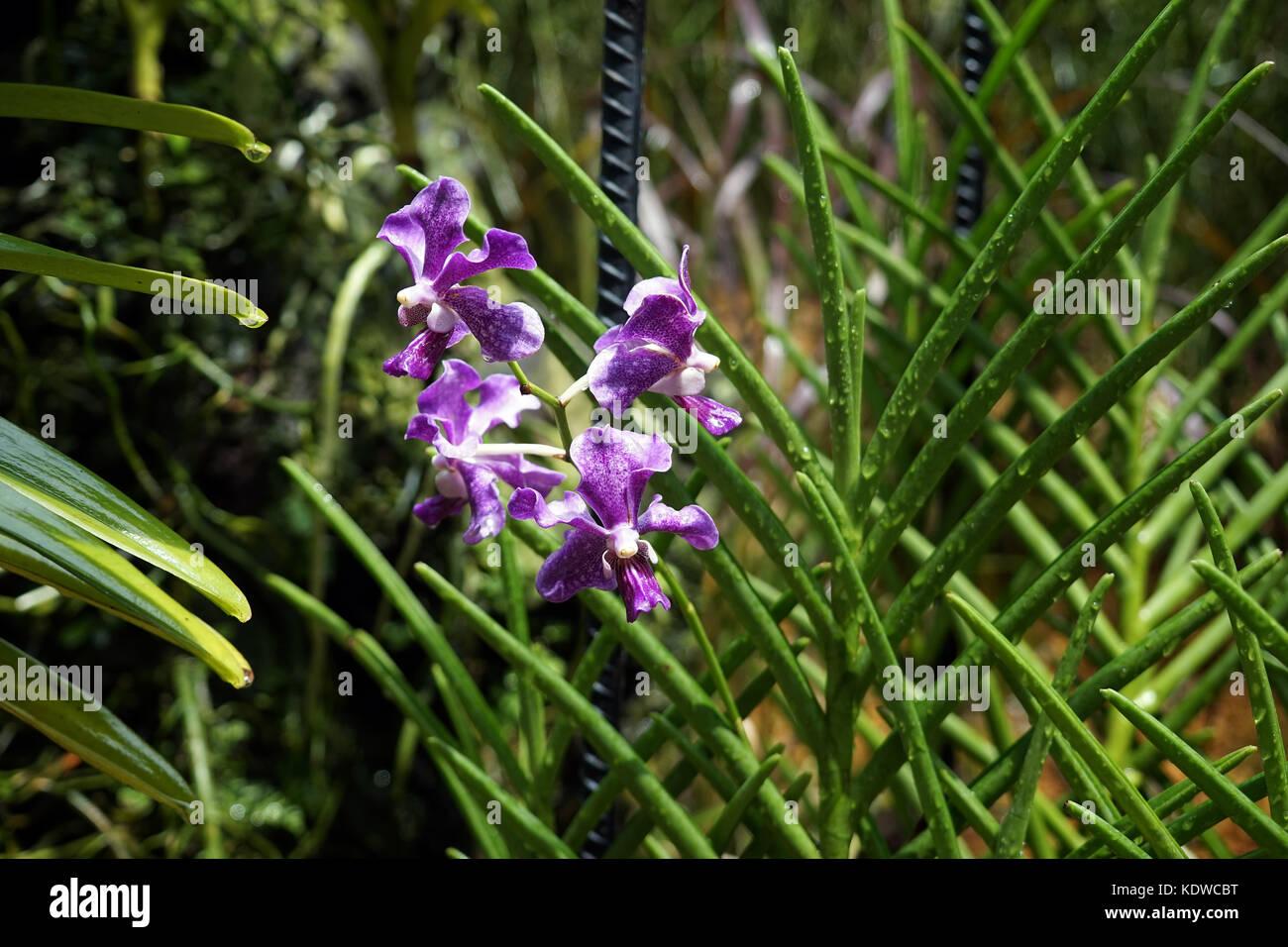 Singapur National Orchid Garden Singapur Orchideen garten . - Stock Image