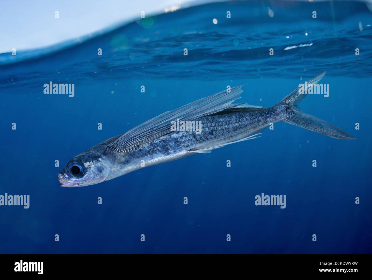 Flying fish species stock photos flying fish species for Flying fish images