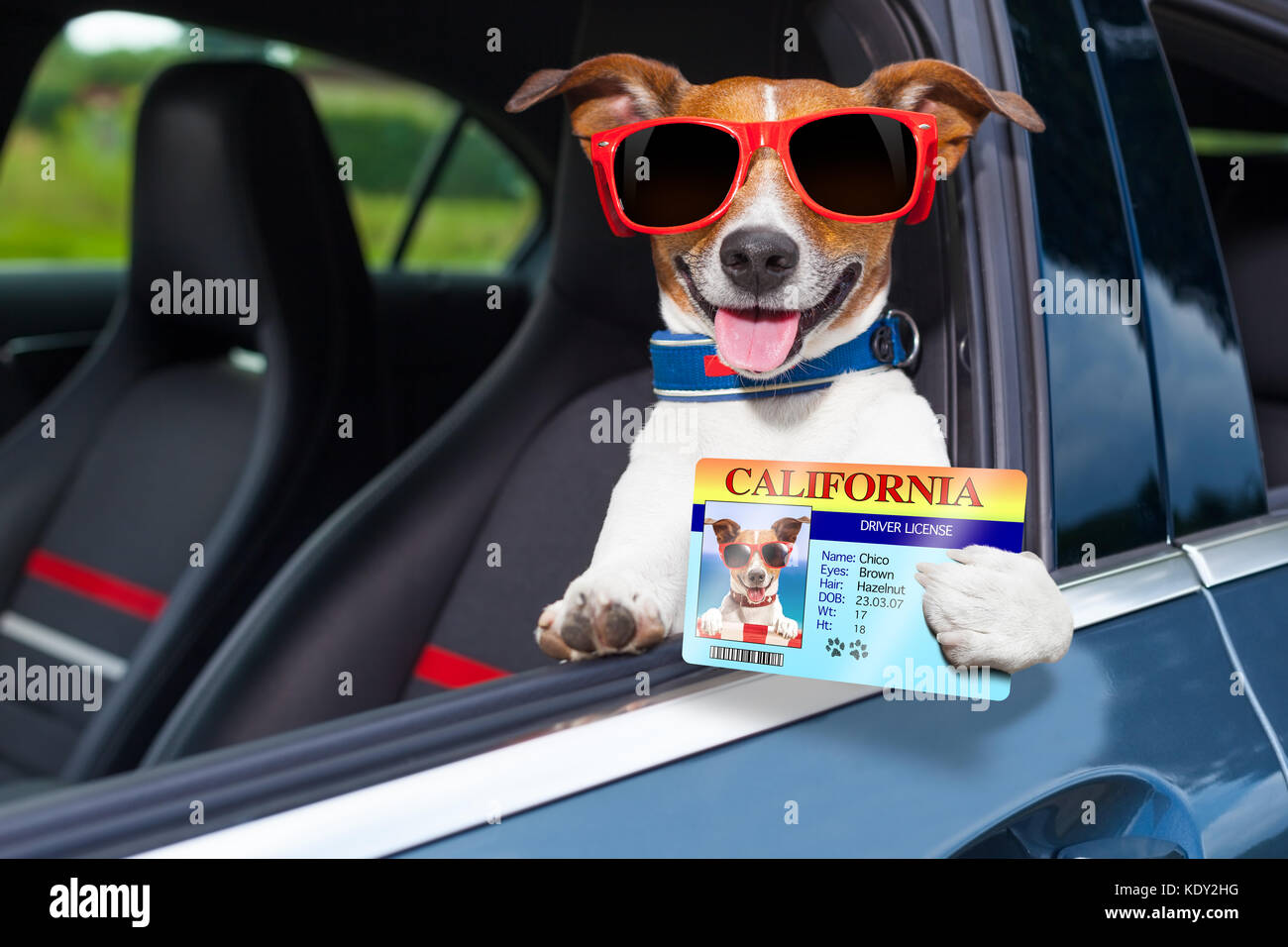 dog leaning out the car window showing the drivers license - Stock Image