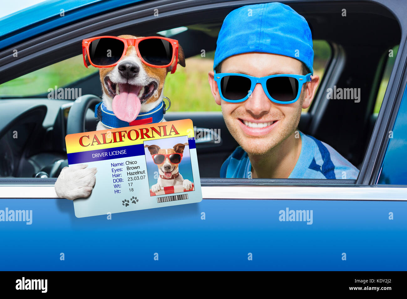 dog in a car looking through window with Driving instructor showing  the drivers license - Stock Image