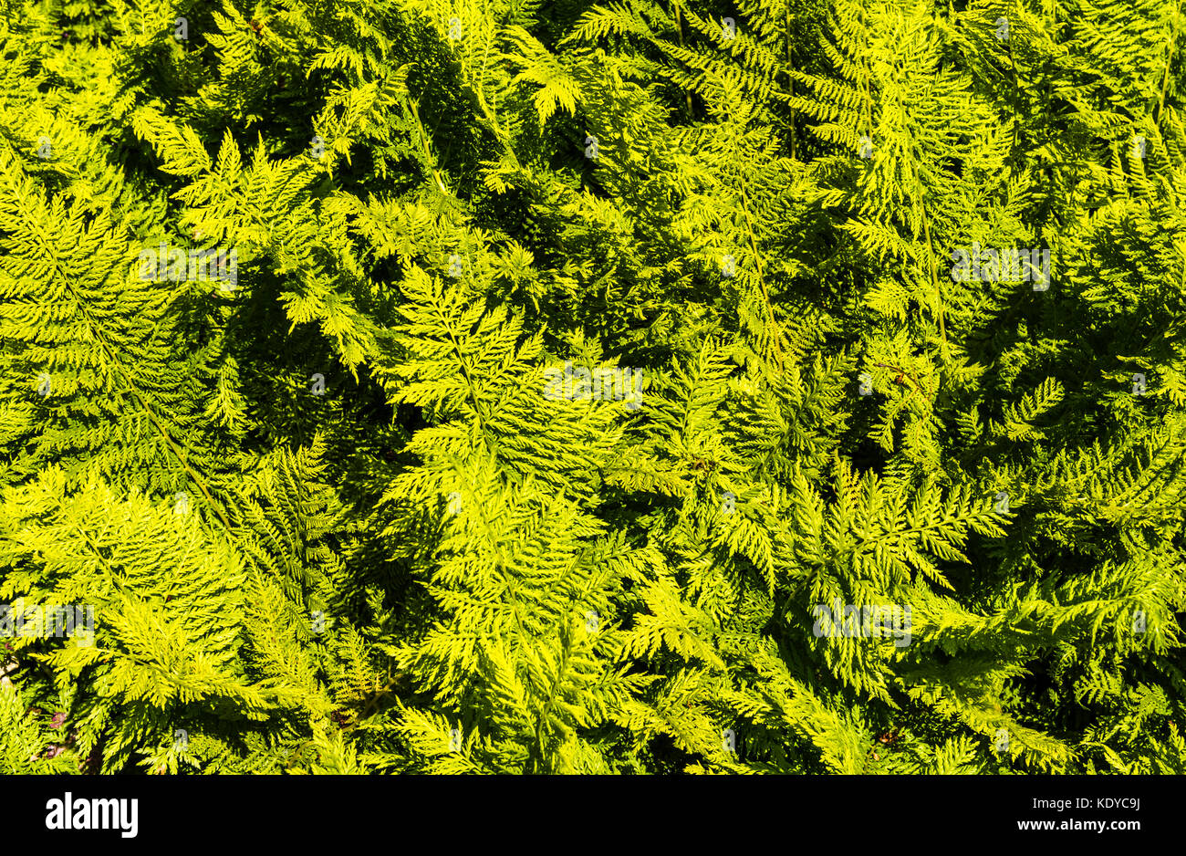 Swathe of fern fronds at Sissinghurst Gardens, Kent, UK - Stock Image