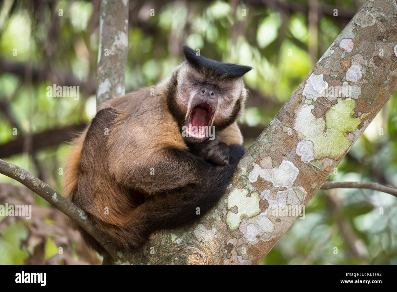 Black-striped Capuchin Monkey (Sapajus libidinosus) from the Pantanal of Brazil - Stock Image