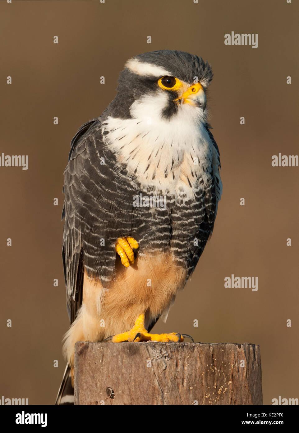 An Aplomado Falcon (Falco femoralis) from the Pantanal, Brazil - Stock Image