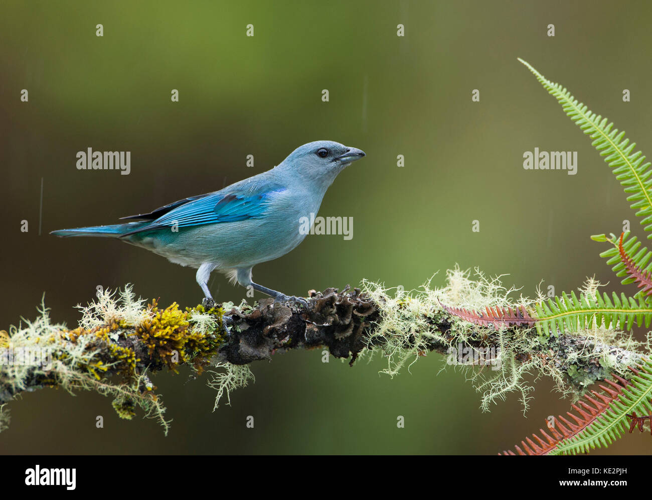 An Azure-shouldered Tanager (Thraupis cyanoptera) from the Atlantic Rainforest of SE Brazil - Stock Image