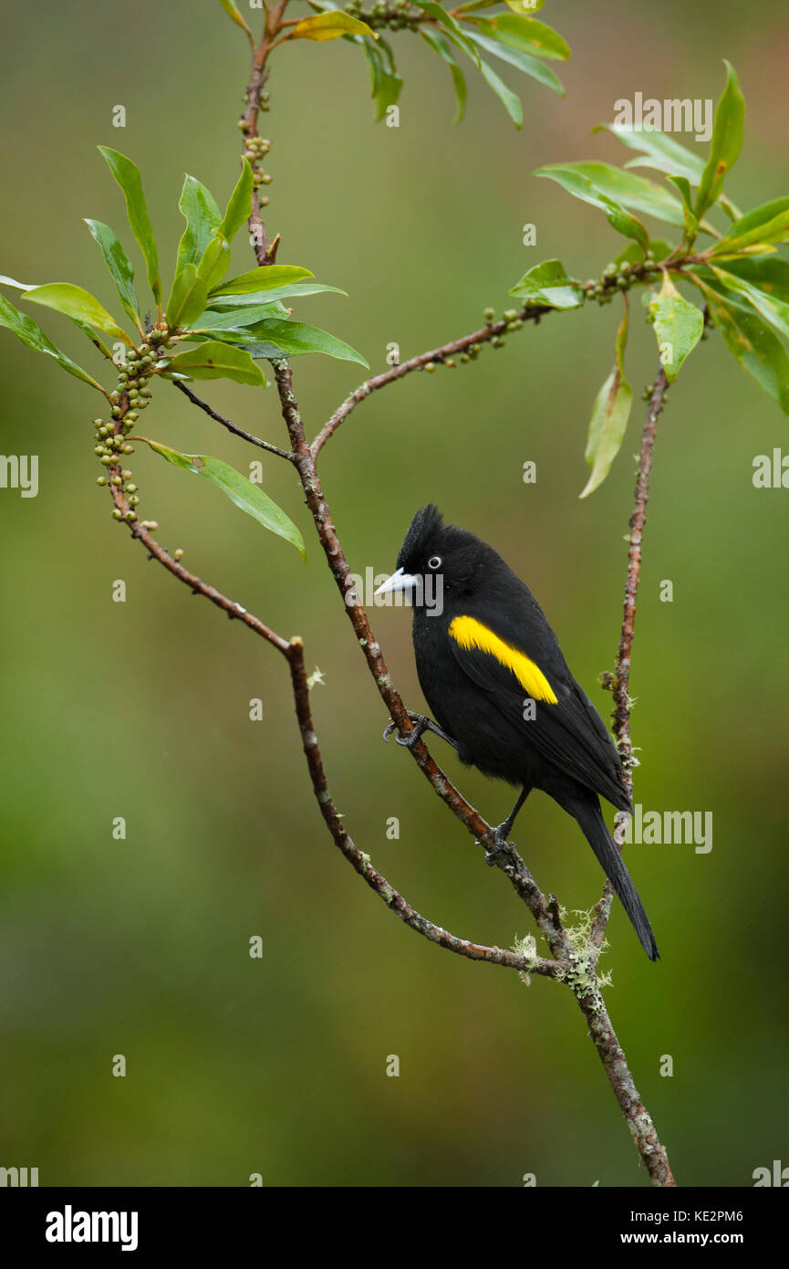 A Golden-winged Cacique (Cacicus chrysopterus) from the Atlantic Rainfores of SE Brazil - Stock Image